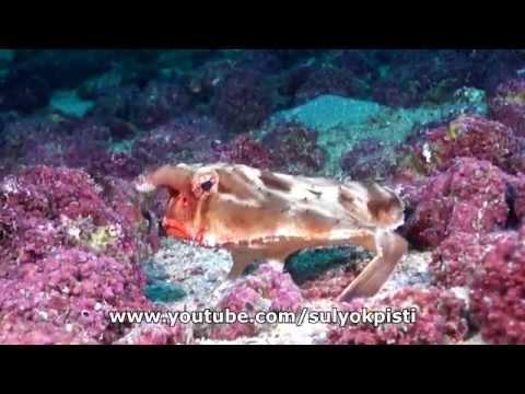 Rosy Lipped Batfish (Ogcocephalus Porrectus)