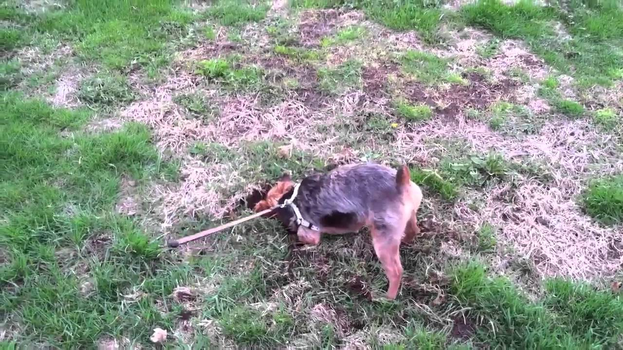 Yorkie Digging For Gophers Youtube