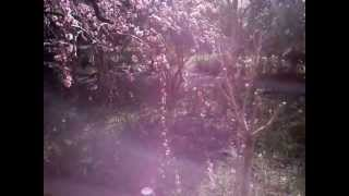 美しい枝垂梅とバイオレットフレーム.