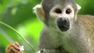 Squirrel Monkeys and Humans Share a Common Ancestor — HHMI BioInteractive Video