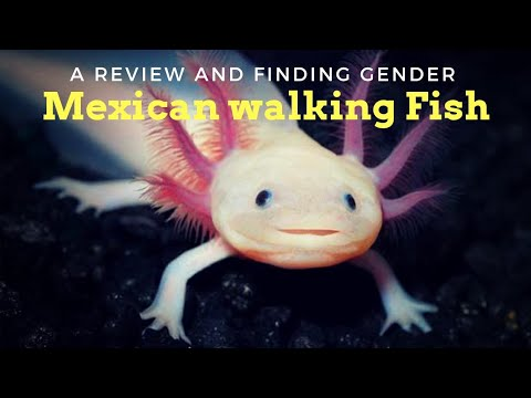 Axolotl Fish is a Stunning Creature... Must Watch
