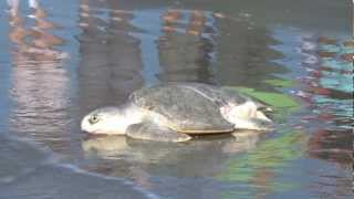 Houston Zoo Releases Sea Turtles in Galveston Bay