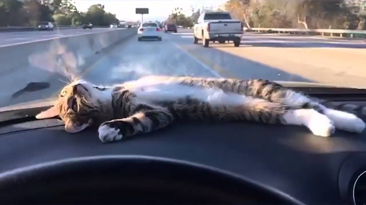Cat Driving A Car Pic