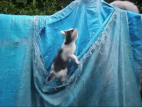 破れたブルーシートで元気に遊ぶ子猫ちゃんKitten playing with torn blue sheet【いなか猫1916】japanese funny cat