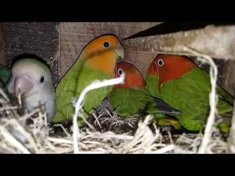ternak LOVEBIRD sukses dengan sistem BABUAN ala junot lb , ini hasilnya !!!