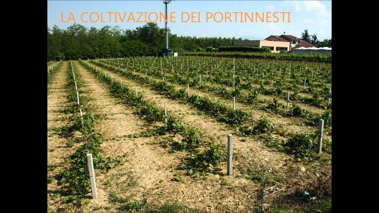 Barbatelle di vite e vivai viticoli youtube for Barbatelle di vite