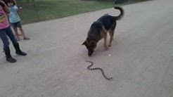 Snake in the driveway, Waddell, AZ.