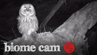 Tawny Owl Camera Trap Footage   Biome Cam