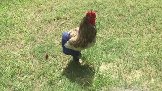 Chickens Wearing Pants Compilation (2018)
