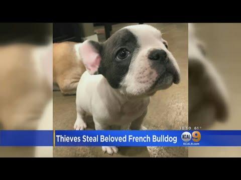 Beloved Bulldog Stolen During Burglary