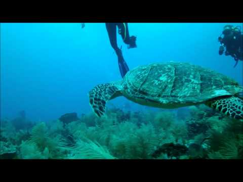 Hawksbill Turtle-Southern Style area-Molasses Reef short video by Capt Bill 9-04-2012