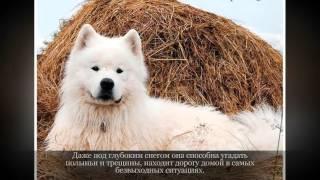 Самоедская собака Средние породы собак