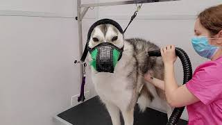 Wolf-like Husky Dog Not Impressed With Grooming