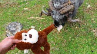 Angry Ram vs monkey