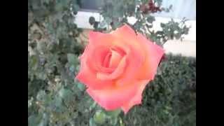 Rosa Wildfire Hybrid Tea Rose