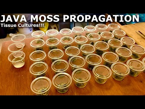How to Propagate Java Moss!!! | Tissue Culture Java Moss Experiment!!!