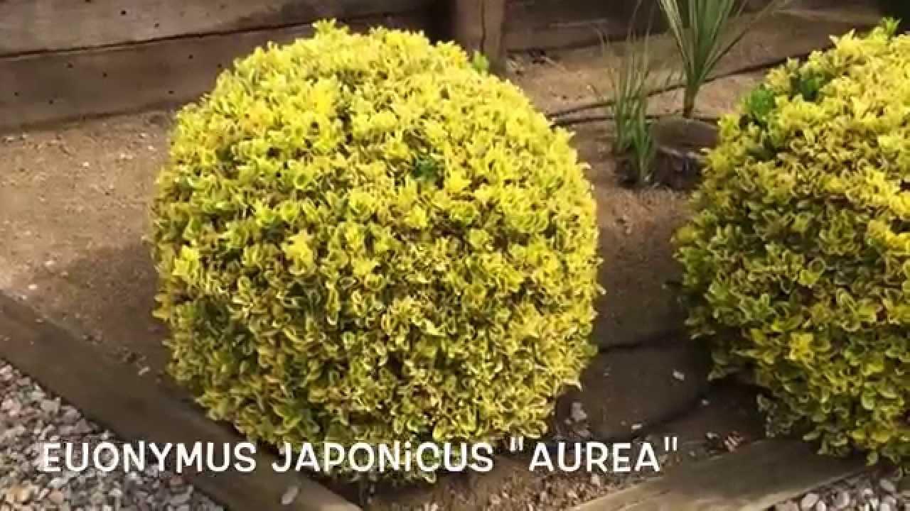 Euonymus japonicus Aurea Garden Center online Costa Brava
