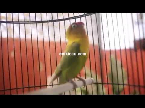 Suara konslet ngekek panjang lovebird Kusumo - Blog Om Kicau
