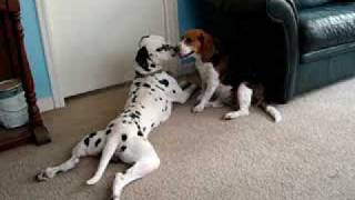 Mike The Dalmatian Giving Zoe The Beagle Kisses