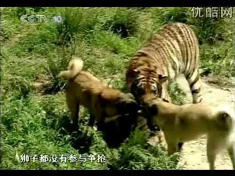 Turkish Dog Kangal Attacking Lion Amp Tiger Youtube