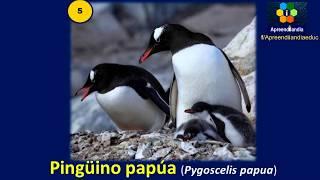 Mas tipos comunes pingüinos de