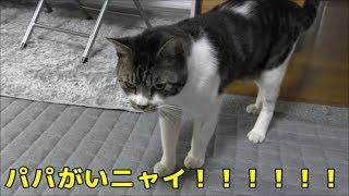 パパが居る時・居ない時で鳴き声が全然違う猫リキちゃん・ドスの効いた声&可愛い声を聞いてみよう☆猫の鳴き声・パパと言う猫【リキちゃんねる 猫動画】Cat videos キジトラ猫との暮らし thumbnail