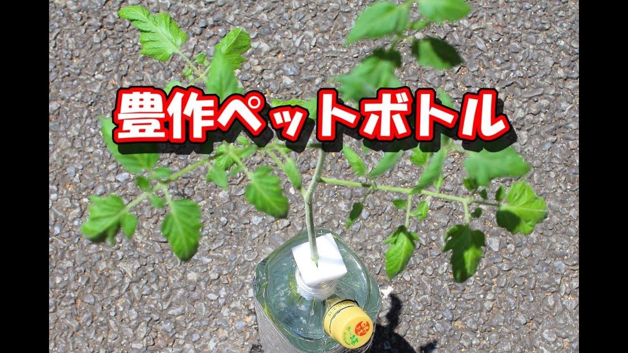 トマト 栽培 ミニ 水 耕