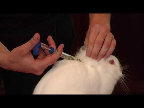 Видео: Easy Rabbits: Вакцинация кроликов (прививки)