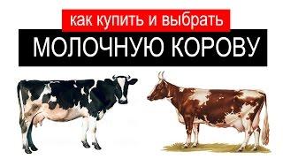 Как купить корову? Как правильно выбрать корову?