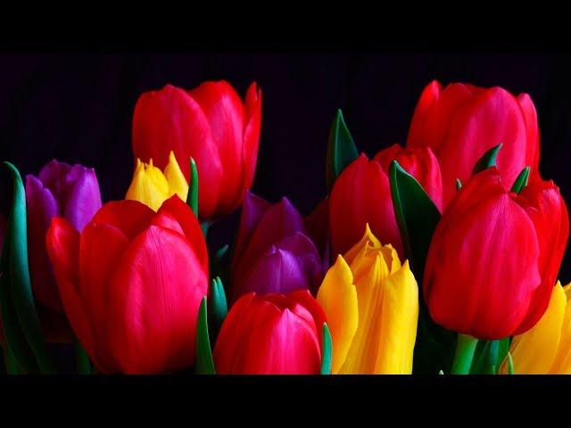 Смотреть видео Ах, тюльпаны нежные цветы -  Ион Суручану