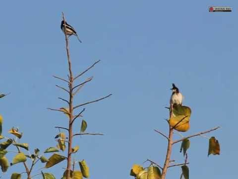 Oriental Magpie-Robin and Red-whiskered Bulbul Singing