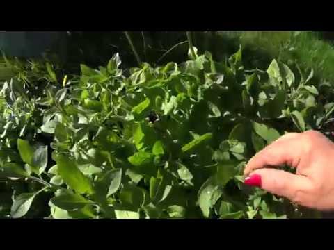 Вопрос: Многоцветковые петунии нужно прищипывать?