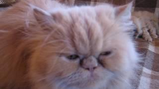 Персидские котята. Обнинск. 1 месяц
