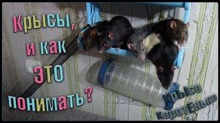 Крысы, и как ЭТО понимать? (Fancy Rats | Декоративные крысы)