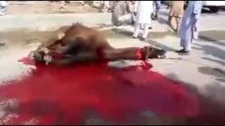 Camel Qurbani Expert Pathan in Pakistan Eid ul Adha part 2