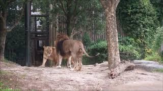 いい夫婦の日の「ライオン」★到津の森公園