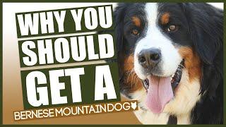 BERNESE MOUNTAIN DOG! 5 Reasons Why YOU SHOULD Get A Bernese Mountain Dog!