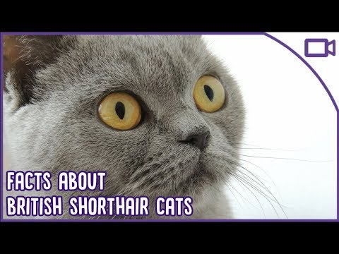 British Shorthair Facts - The CUTEST Breed?!