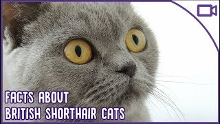 British Shorthair Facts  The CUTEST Breed?!