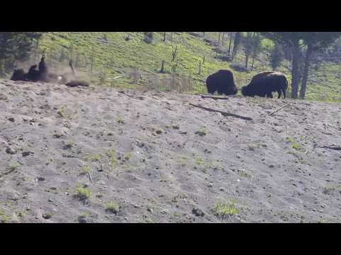 Two Bison Square Off in Yellowstone Park