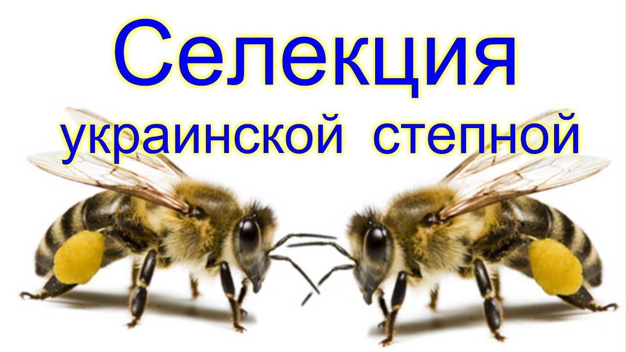 №4 Селекция Украинской степной породы пчел