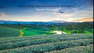 Choui Fong Tea Plantation in Chiangrai, Thailand