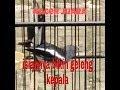 Suara Kacer Bikin Geleng Kepala Kacer Juara  Mp3 - Mp4 Download