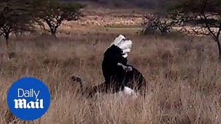 Ostriches mating captured on film - Daily Mail