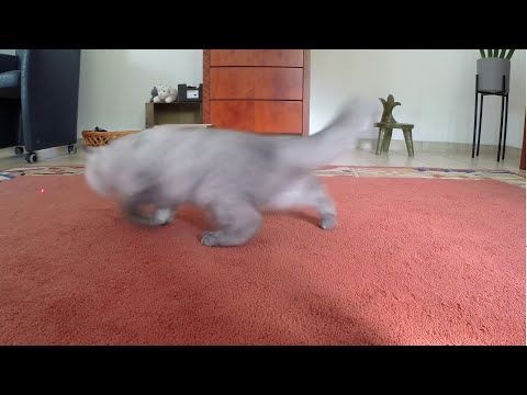 Persian kitten playing with Laser