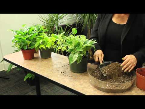 How to Plant Pothos : Gardening & Plant Care