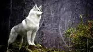 """Клип на песню """"Одинокая волчица"""""""