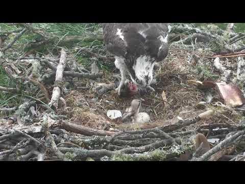 Unedited breakfast for osplet #1 ~ ©Scottish Wildlife Trust, Lowes
