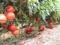 Organic Pepper Update, Compost Tea, Moringa, & 150 lbs of Heirloom Tomatoes !