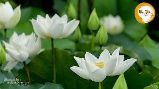 Nhạc Thiền Tĩnh Tâm - Giúp tràn đầy năng lượng tích cực, lạc quan vui sống giữa cuộc đời
